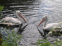 Pelikane im Vogelpark Avifauna. © Magalhães
