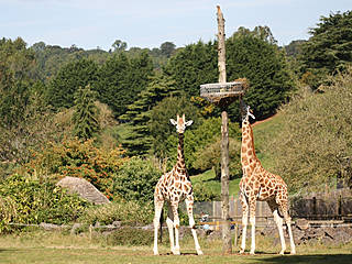 Giraffen im Paignton Zoo. © BatgirlBob
