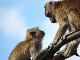 Zwei Affen im Givskud Zoo © JarleR