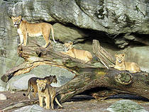 Löwen im Tierpark Hagenbeck © Moe_