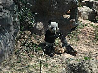 Panda im Atlanta Zoo. © Bensmcc